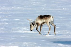 Caribou near Artillery Lake, NWT, March 09 (photo from FB group for Rangifer Anatomy Project)